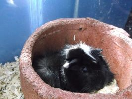 Princess Sqeaky the Guinea Pig cutie by forever-at-peace