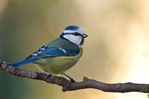 Blue tit 3 by Dunadan-from-Bag-End