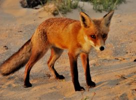 And here the fox again by jchanders