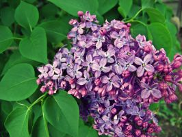 lilacs by CleverSleazoidXD