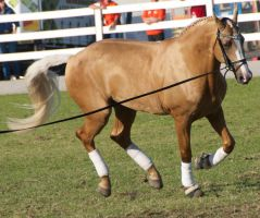 Palomino, canter - Stock by hh-harley