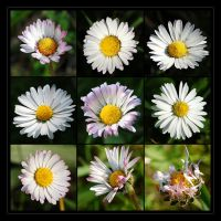 Daisies by Loony-Lucy