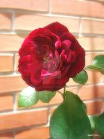 Old Red Rose 2 by ChristopherinMexico