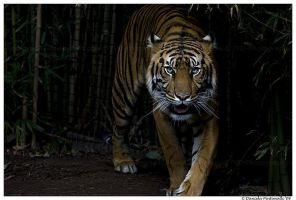 Tiger Approaching II by TVD-Photography