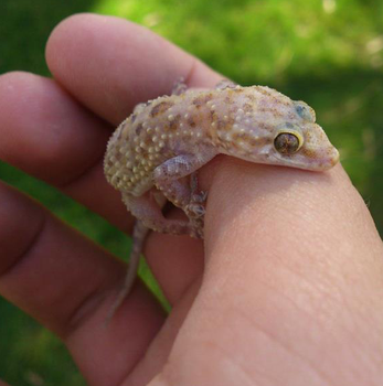 Gecko by anthonyS13