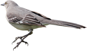 Mockingbird PNG 01 by Thy-Darkest-Hour