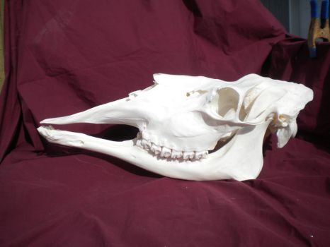 Cow Moose Skull Stock by Minotaur-Queen-Stock