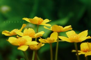 Marigolds by elysabet