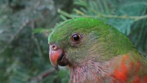 King Parrot by Dryad-8