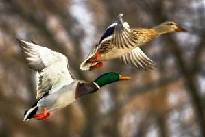 Mallard couple in flight 01 by StudioFovea
