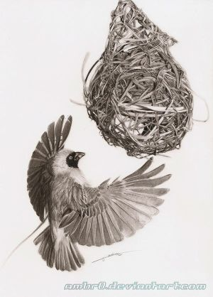 Southern Masked Weaver - Drawing