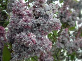 Lilacs 2 by fosspathei