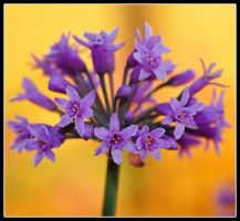 Tulbaghia Violacea by TeFoPhotography