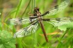 Dragonfly by OrioNebula