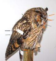 taxidermy WIP long-eared owl by HippiUnicorn