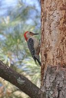 Northern Flicker tree damage by Tailgun2009