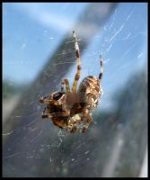 Garden Spider by Metalhead99