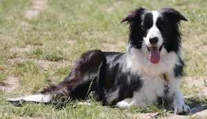 Border Collie 1 by Lakela
