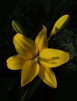 Yellow Lily by barcon53