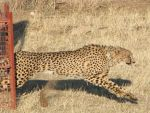 Cheetah release by my5tery