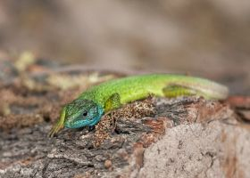 European green lizard  (Lacerta viridis - Guster) by laurapanduru