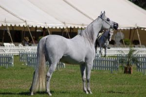 TW Arab white standing ears pricked by Chunga-Stock