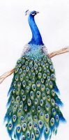 peacock by ChinMa