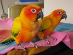 Sunny and Shiloh - Sun Conure Parrots by mintymintymid