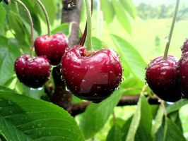 cherries by ArisAnthopoulos