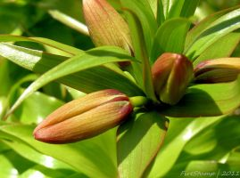 Crown Imperial Bud by FireStump