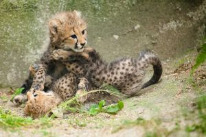 Cheetah Playtime by spike83