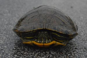 Painted turtle by JDAWG9806