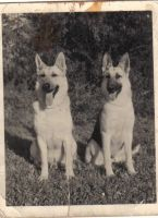 German Shepherds by SeaWolf91