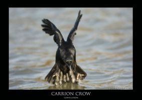 carrion crow.1 by THEDOC4