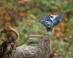 squirrel vs. blijay by freddiecruger