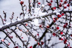 Snow on the branches by Becwa
