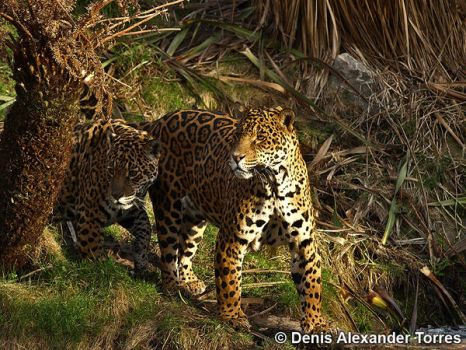 Jaguars by torreoso