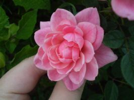 Little pink rose II by gsdark-stock