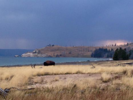 Lone Bison by daram26