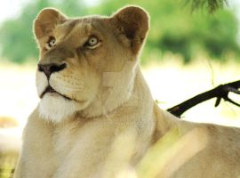 White Lioness by JaymeeLS