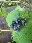 Wild Grapes 2 by Windthin