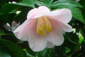 pink pastell camellia 3 by ingeline-art