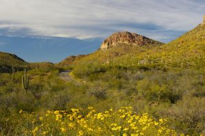 Ajo Mountains with Brittlebush by PatGoltz
