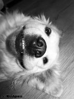Lexi funny Golden retriever by MissAgness