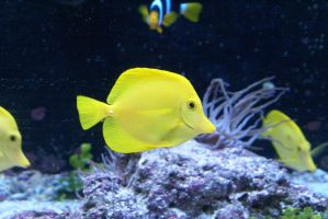 Yellow Tang Stock by xSoCassiex