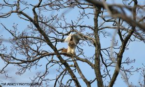 Red-Tailed Hawk by BigBigWolf