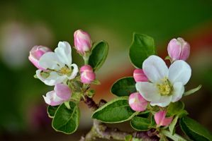 apple blossoms by SvitakovaEva