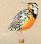 Eastern Meadowlark by Cuthillius