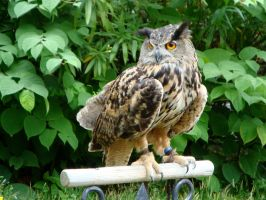 Eagle Owl by FallenOther