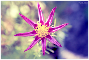 'Delicate Star Pinks' by AMayShulerphotogrphy